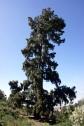 Los árboles más altos de España son dos pinos que están en Vilaflor de Chasna